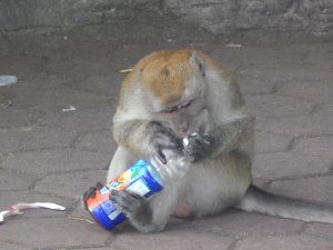 smart monkey opening bottle in batu caves